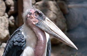 holohlavé vtáky marabu
