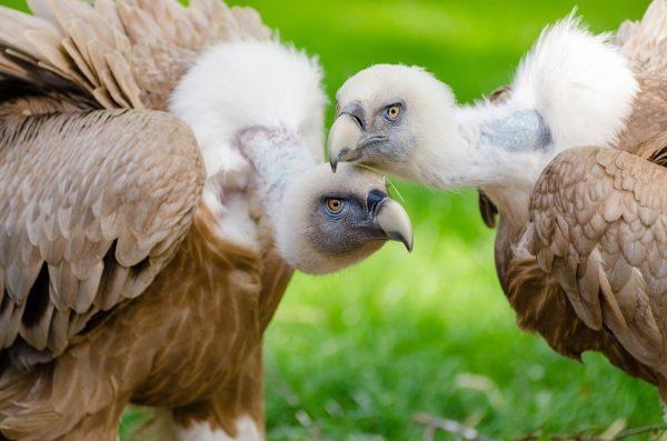 holohlavé vtáky sup