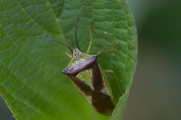 Bzdocha, hmyz druhu heteroptera