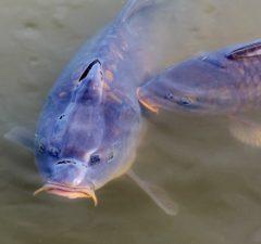 kapor ryba ryby jazero rybolov