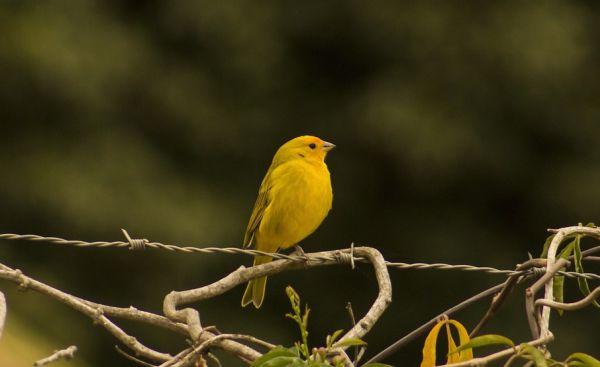 Vtáčik Kanárik