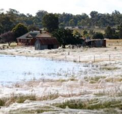 Wagga Wagga pavúčia invázia