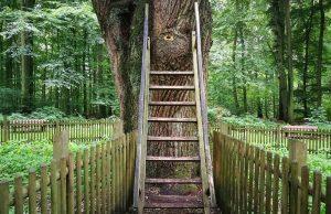 500 ročnný dub v Nemecku