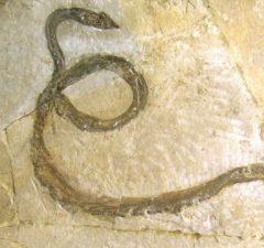 Archaeophis proavus