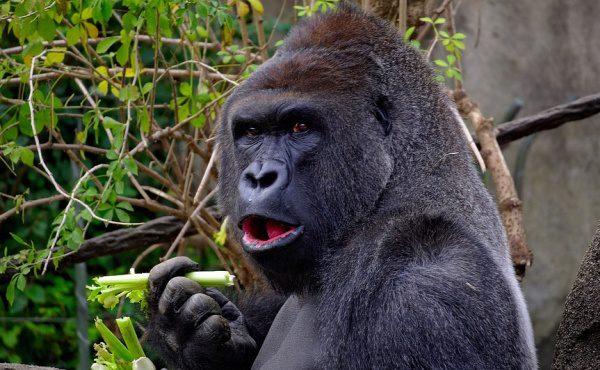 Gorila sa kŕmi, potrava