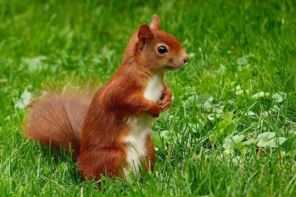 Veverička červená