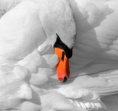 Labute, biela labuť