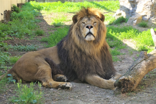 Zoo bojnice, lev berberský (panthera leo leo)