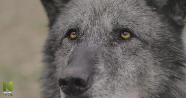 Pes a mačka, skúmanie domestikovania na Viasat Nature