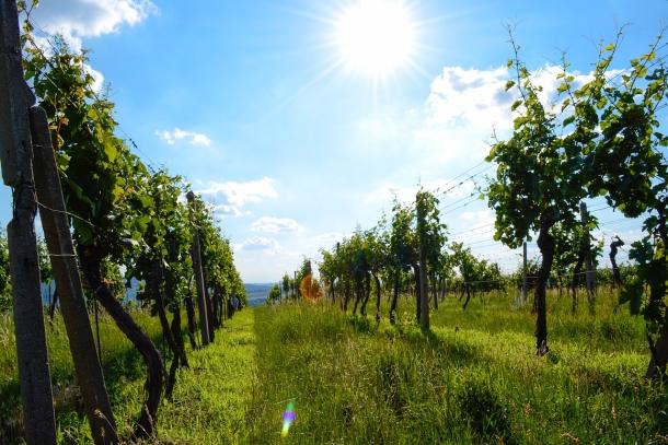 Vinohrad a vinárčenie