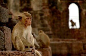 Thajsko, makak v meste Lopburi