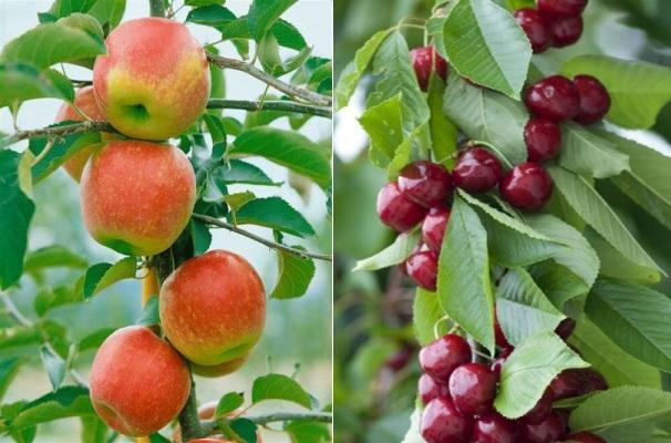 Stĺpovité ovocné stromy