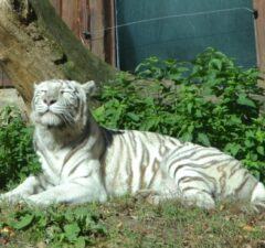 Achilles, biely tiger bratislavská ZOO