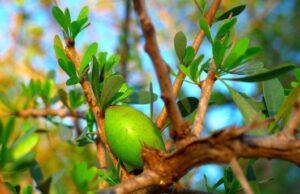 Argánový olej a strom