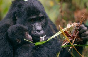 Gorila mláďa