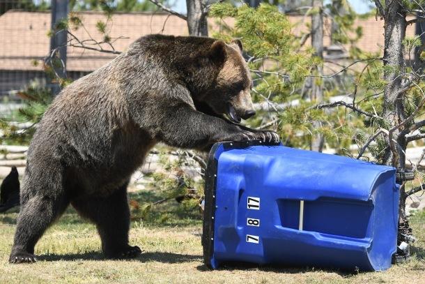 Medveď Grizly, článok o súboji s grizlym
