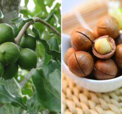 makadamový orech makadamové orechy a spracovanie