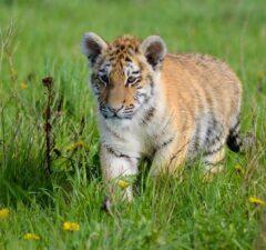 Sibírsky tiger